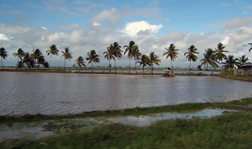 Guyana: Rice Field, and Tractor, and Palm Trees